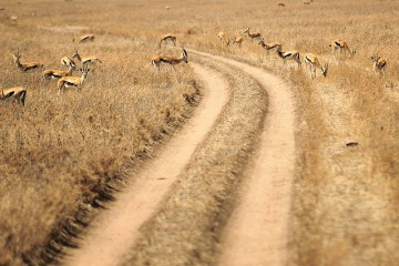 Gazelles on the Road