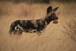 African Wild Dog with a Dik Dik Head, Mkhuze Game Reserve, South Africa