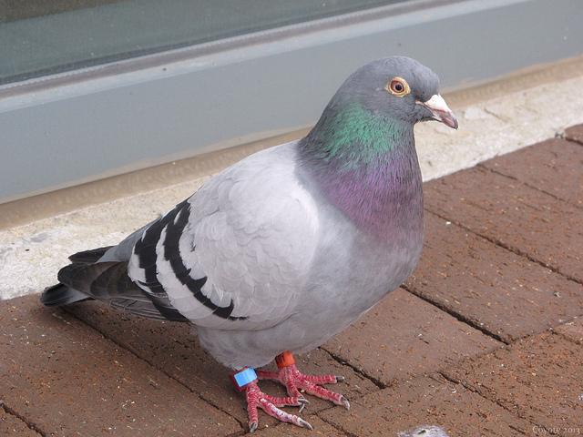 Racing Pigeon Makes 8,000km Trip from Japan to Vancouver Island — Vagabondish