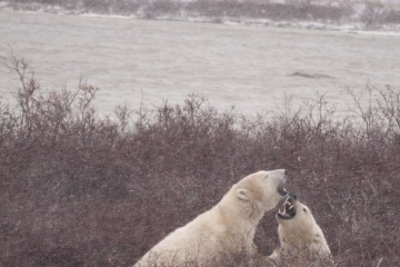 Male Polar Bears Sparring (Churchill, Manitoba)