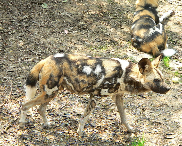 Pair of African Wild Dogs