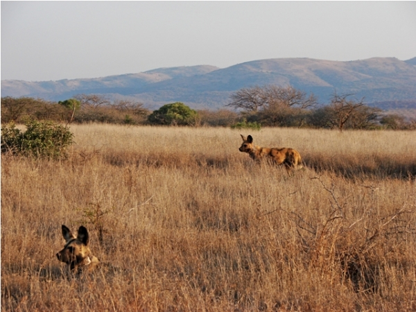 African Wild Dogs at Mkhuze Game Reserve, South Africa