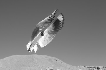 Andean gull in mid-flight (taken in Salta, Argentina)