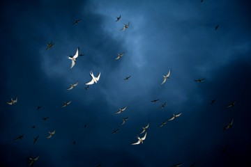 Arctic Terns in Flight, Iceland
