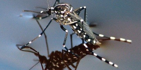 Asian Tiger Mosquito in Oslo, Florida