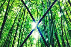 Under the Bamboo Canopy of Oahu's Rainforest, Hawaii