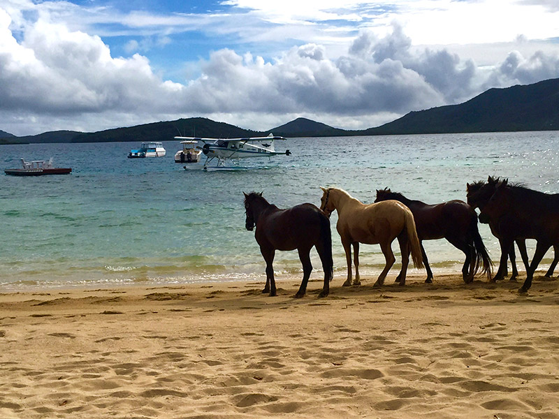 Beach Horses of Turtle Island Resort, Fiji