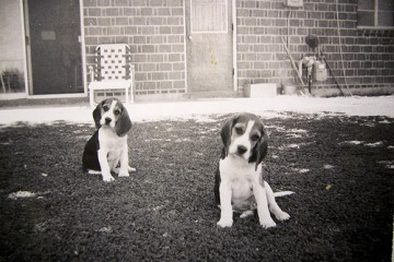 Two Beagles, Phoenix