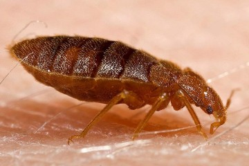 Adult Bed Bug (closeup)
