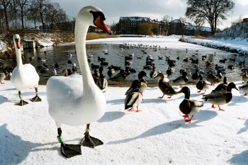 Birds in Winter, Copenhagen, Denmark