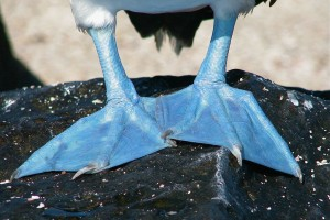 Blue-footed Booby Feet, Galapagos, Ecuador