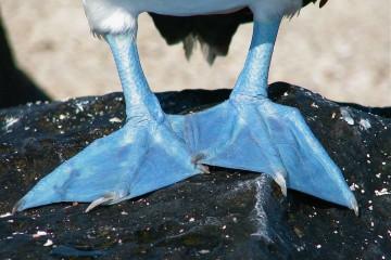 Blue-footed Booby Feet, Galapagos, Ecuador