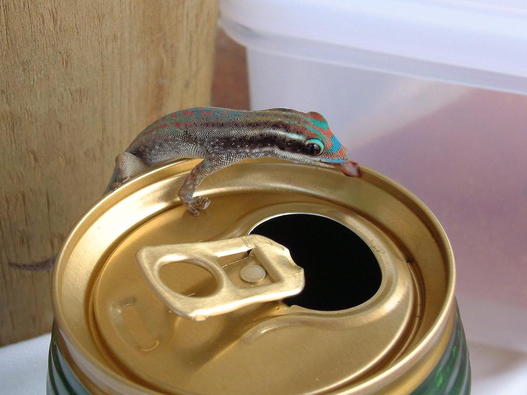 Photo of the Moment: One Boozy Gecko, Mauritius — Vagabondish