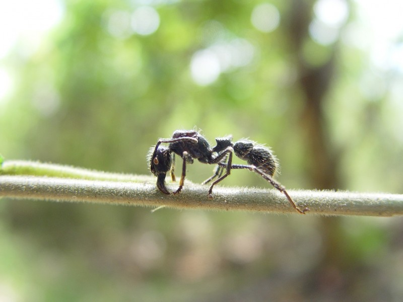 Bullet Ant, Costa Rica