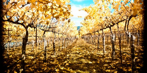 Napa Vineyards in Autumn, California
