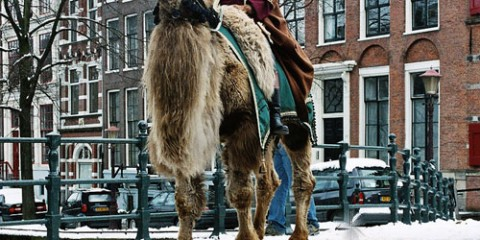 Man Riding Camel in Amsterdam, The Netherlands