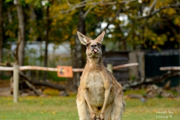 Cheeky Kangaroo Being Cheeky, Brisbane, Australia