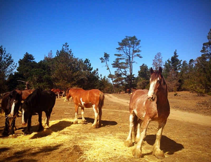 Clydesdales at Covell Ranch / Cambria Pines by the Sea, California