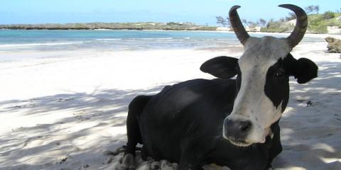 Cow on the beach in Madagascar