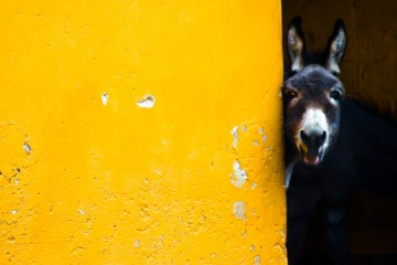 Curious Donkey, Germany