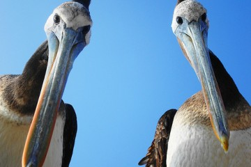 Curious Pelicans, Chile