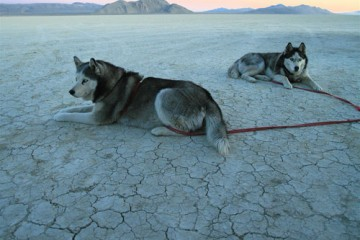 Desert Dogs in Black Rock Desert, Nevada