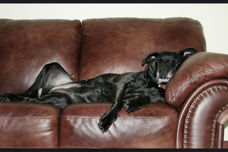 Dog Crashing on Couch