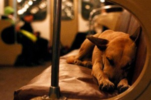 Sleeping Dog on Subway Train in Moscow, Russia