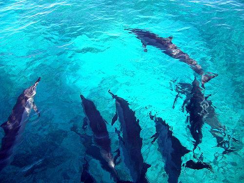 Dolphins in the Open Ocean, Hawaii