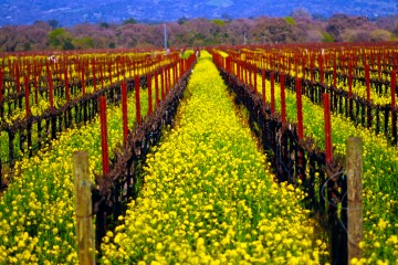 Down the Vines in Spring, Sonoma