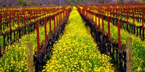 Down the Vines in Spring, Sonoma