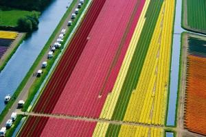 Aerial view of dutch tulip fields