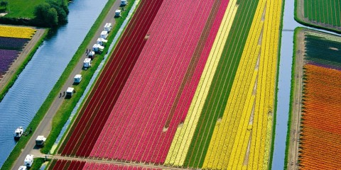 Aerial view of dutch tulip fields