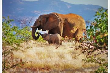 Elephant Mother & Calf, Damaraland Namibia