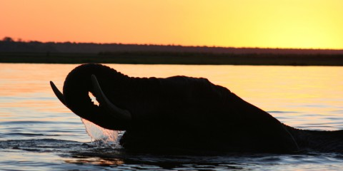 Elephant Sunset on the Chobe River, Botswana