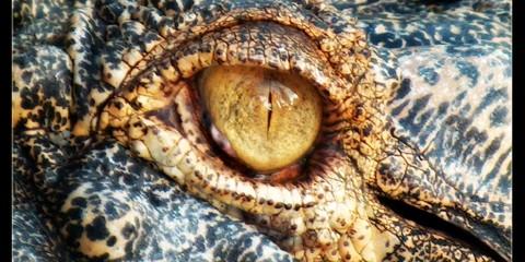 Crocodile eye (closeup) in Kuala Lumpur, Malaysia