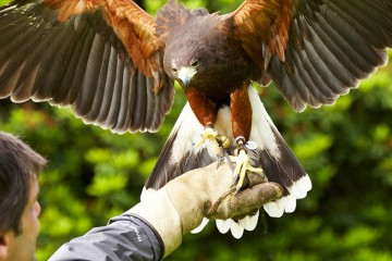 Falconry School at Gleneagles Hotel, Scotland