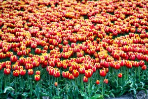 A field of tulips in North Holland, Netherlands