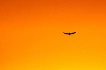 freedom-bird-532511340