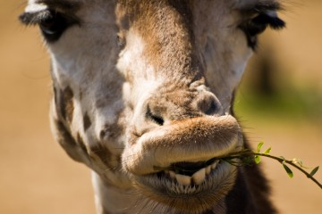 Giraffe Eating Leaves at London Zoo (closeup)