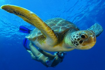 Green Sea Turtle Taking it Slow in Tenerife, Spain