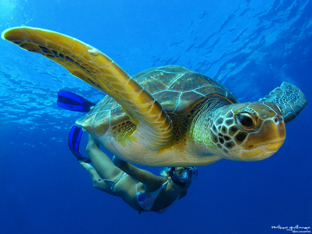 Photo of the Moment: Green Turtle Taking it Slow in Tenerife — Vagabondish