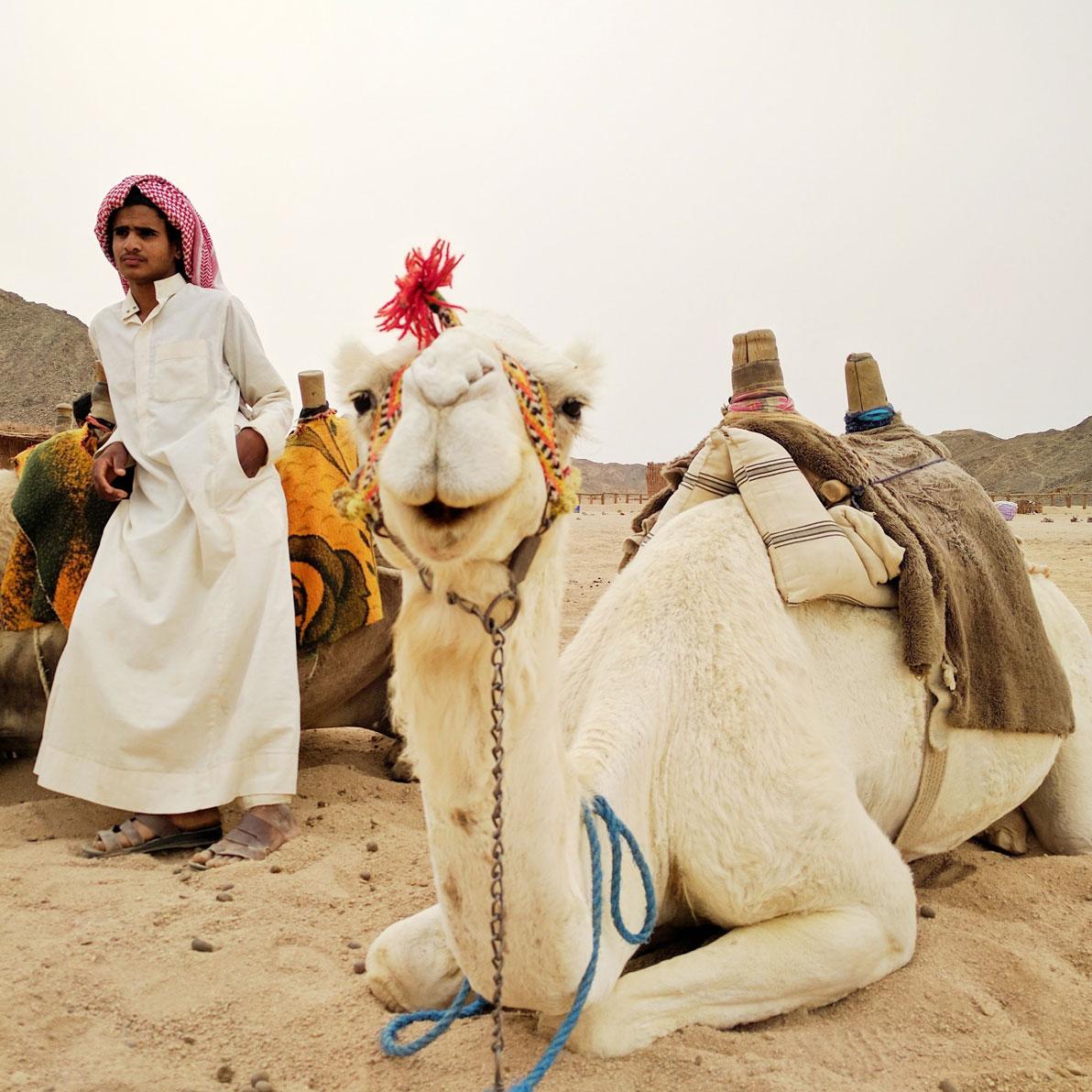 Happy Bedouin camel in the desert near Hurghada, Egypt