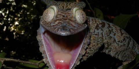 Giant Leaf-tailed Gecko, Nosy Mangabe, Madagascar, Africa