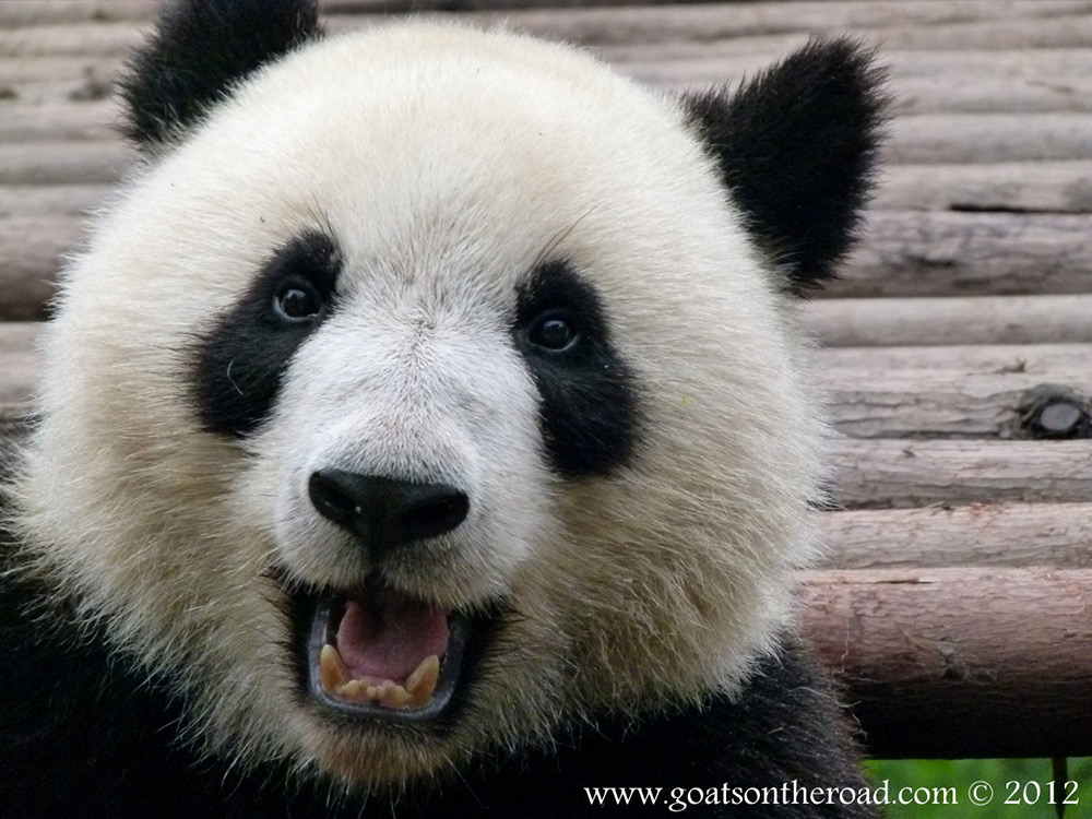 Photo of the Moment: One Happy Panda in Chengdu, China - Vagabondish: www.vagabondish.com/photo-happy-panda-chengdu-china