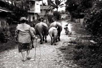 Herd in Vang Vieng, Laos