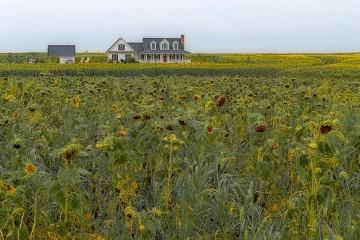 House in a Field of Flowers, Delaware