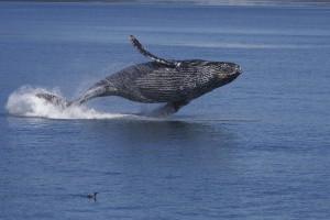 humpback-whale-9660851285
