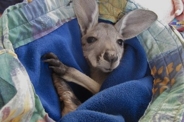 Kangaroo Joey in South Australia