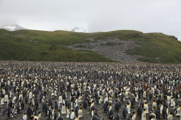 200,000 King Penguins on South Georgia Island